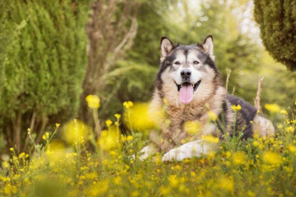 Malamute alaska caracteristicas cuidados consejos jardin
