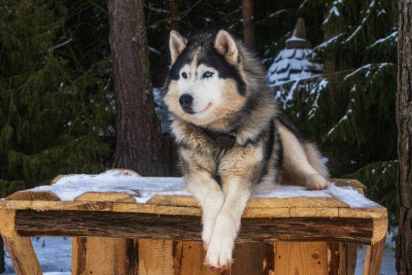Malamute alaska caracteristicas cuidados consejos pelaje tumbado
