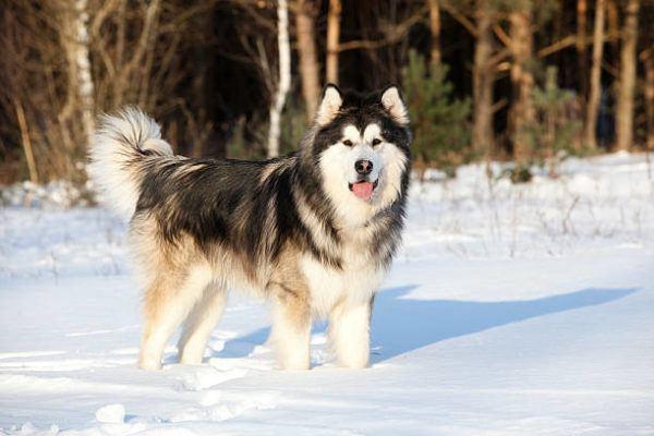 Malamute alaska caracteristicas cuidados consejos pelo largo nieve