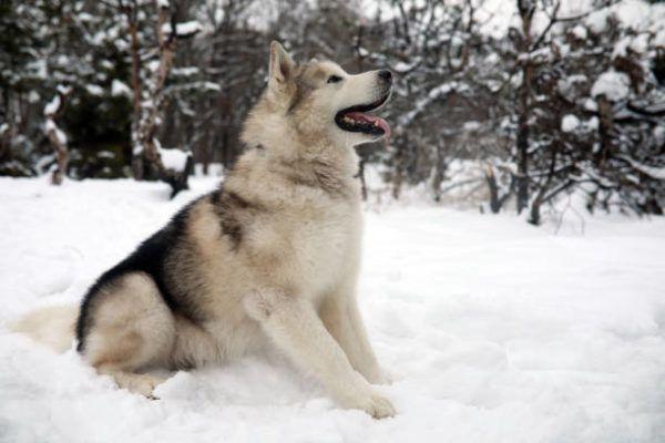Malamute alaska caracteristicas cuidados consejos sentado nieve