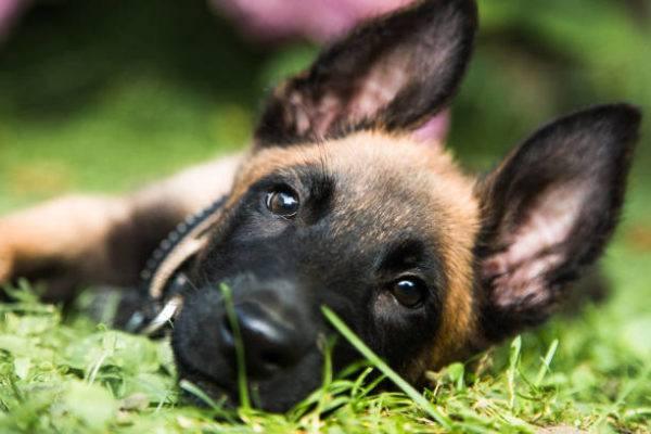 Pastor malinois características cuidados consejos cachorro cara