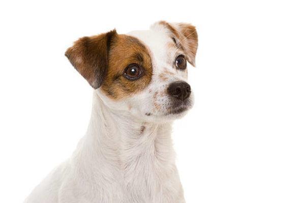 Perro ratonero caracteristicas cuidados consejos de lado