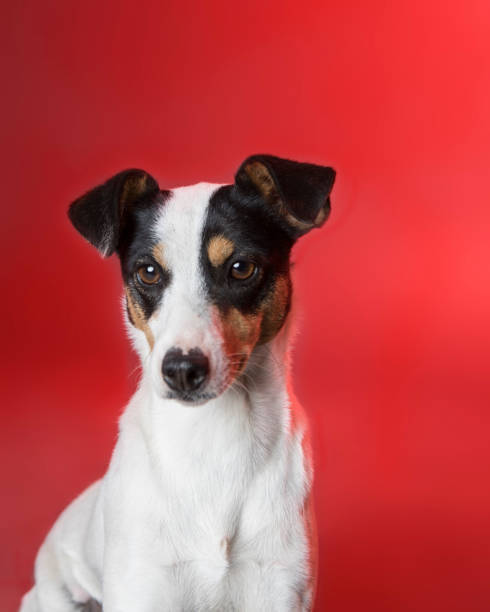 Perro ratonero caracteristicas cuidados consejos sentado fondo rojo