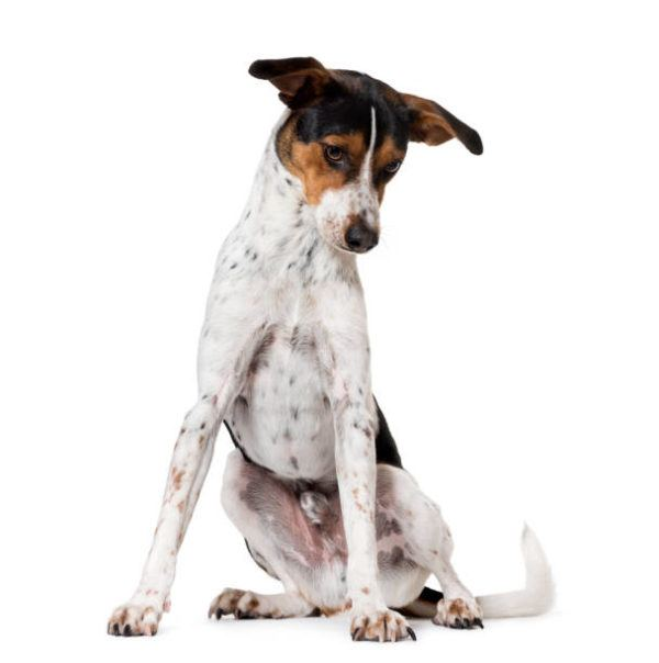 Perro ratonero caracteristicas cuidados consejos sentado