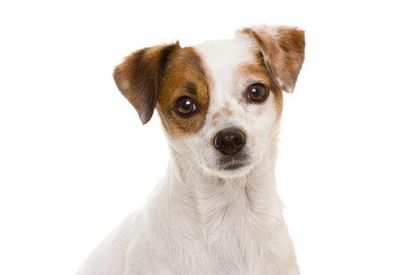 Perro ratonero caracteristicas cuidados y consejos