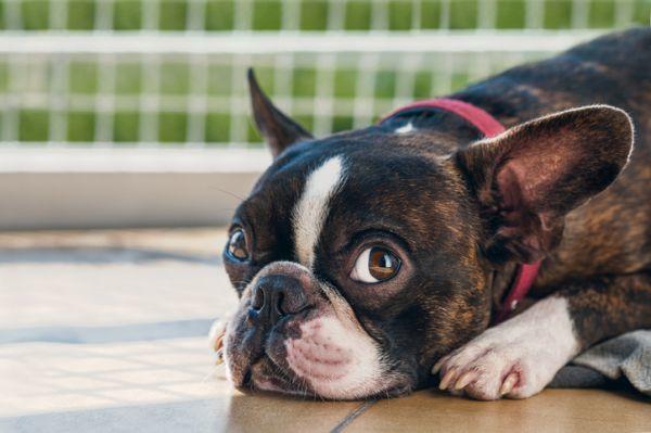Perros boston terrier caracteristicas cuidados cachorro con cabeza al suelo