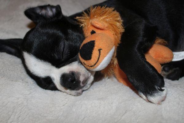 Perros boston terrier caracteristicas cuidados cachorro con peluche