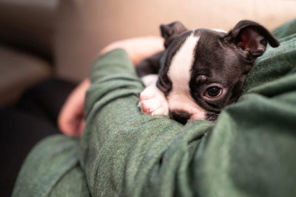 Perros boston terrier caracteristicas cuidados cachorro en brazos