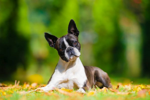 Perros boston terrier caracteristicas cuidados cachorro mirando al frente