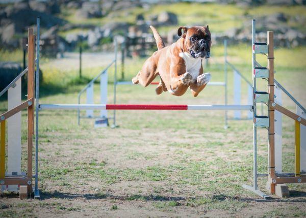 Perro boxer saltando obstáculos en competición