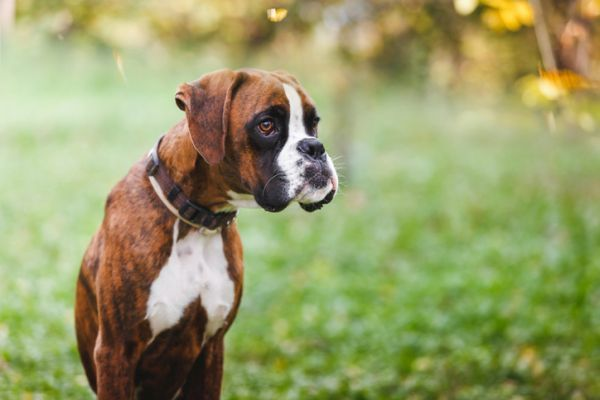 Perro boxer en el parque
