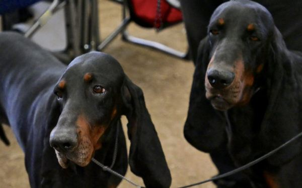 Black and tan coonhound caracter cuidados