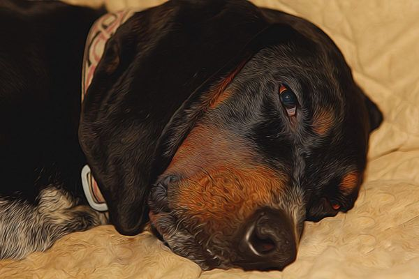 Black and tan coonhound caracteristicas caracter y cuidados