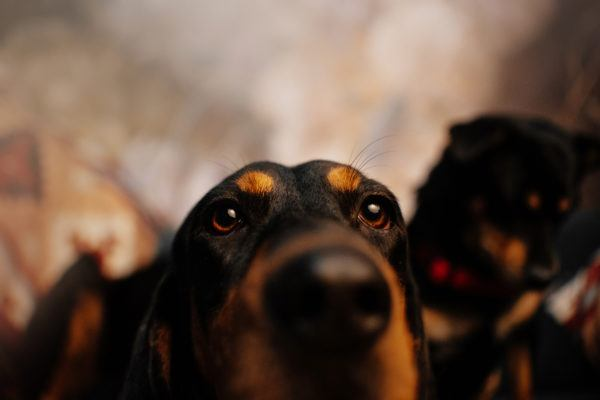 Black and tan coonhound caracteristicas cuidados