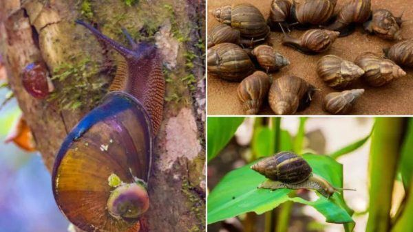 Caracol africano gigante