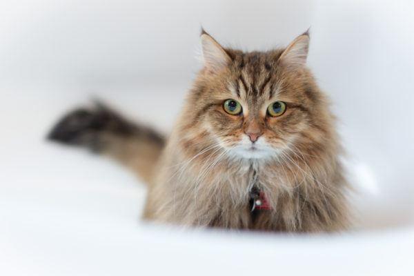 Gato siberiano caracteristicas cuidados consejos