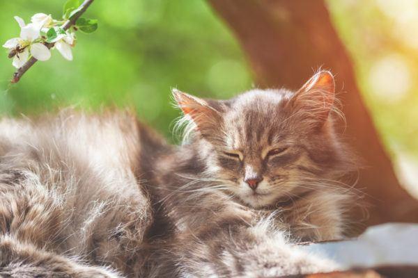 Gato siberiano caracteristicas cuidados y consejos cachorro
