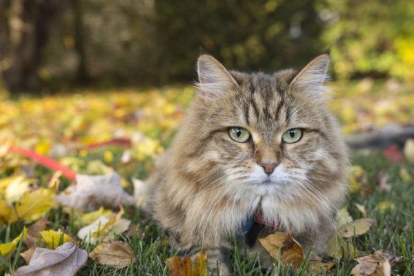 Gato siberiano caracteristicas cuidados y consejos