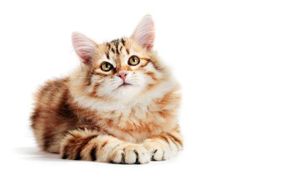 Gato siberiano caracteristicas cuidados y todos los consejos