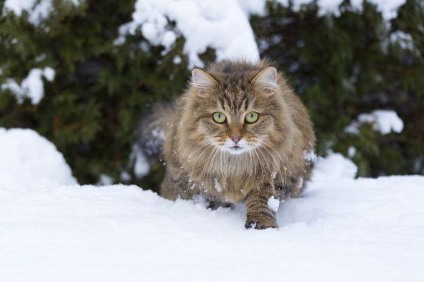 Gato siberiano cuales caracteristicas cuidados y consejos