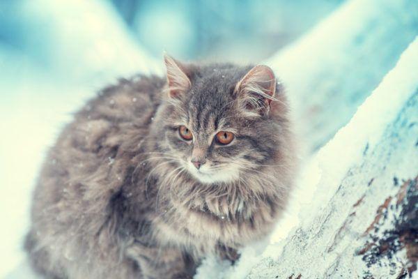 Gato siberiano cuales son caracteristicas cuidados y consejos