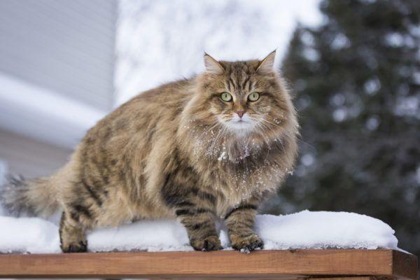 Gato siberiano cuidados y consejos