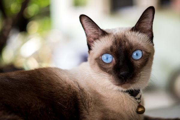 Razas de gato mas carinosos Siamés