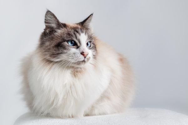 Razas de gato mas carinosos ragdoll