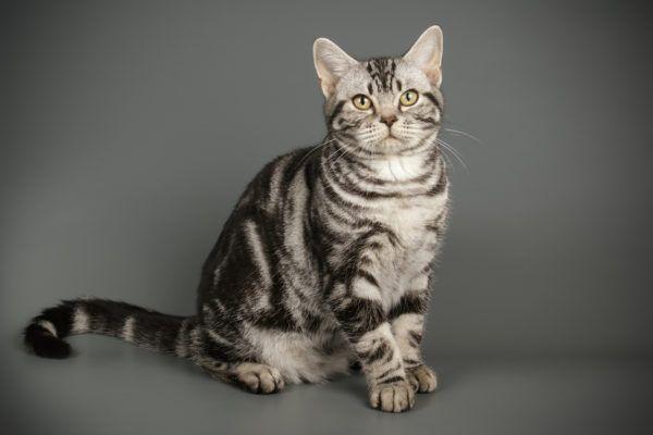 Razas de gatos mas cariñosos American Shorthair