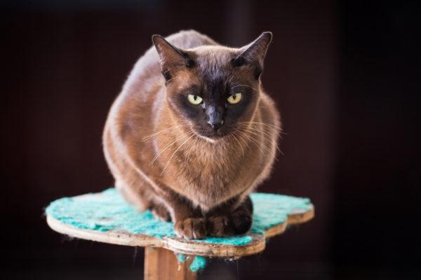 Razas de gatos mas carinosos Gato birmano