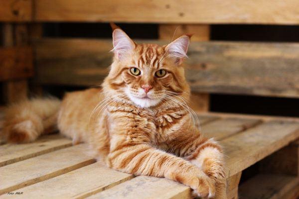 Razas de gatos mas carinosos Maine Coon