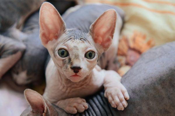Razas de gatos mas carinosos Sphynx