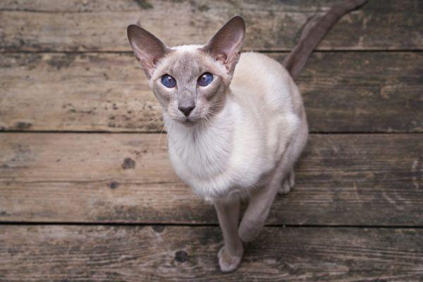 Razas de gatos mas cariñosos gato oriental