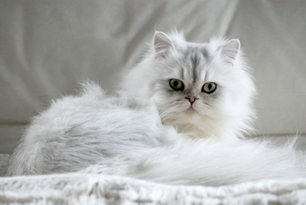Razas gatos mas carinosos gato persa