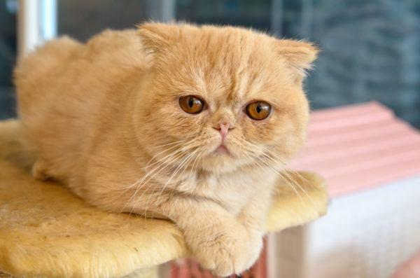 Razaso gatos mas carinosos Gato Exótico