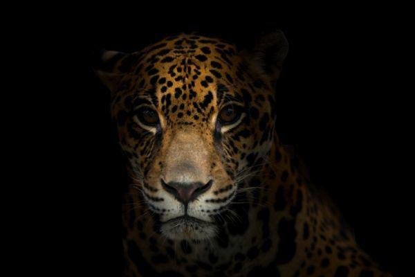 Animales nocturnos caracteristicas especies jaguar