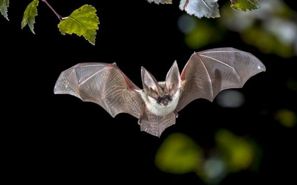 Animales nocturnos caracteristicas especies murciélago