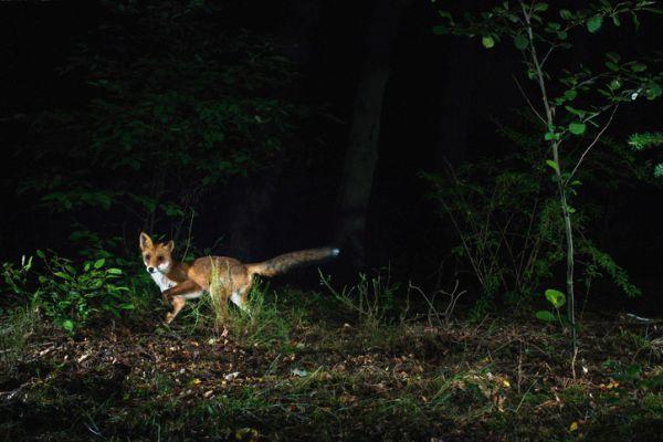 Animales nocturnos caracteristicas especies zorro rojo