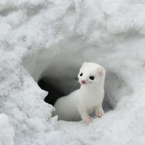 Hurón del Ártico