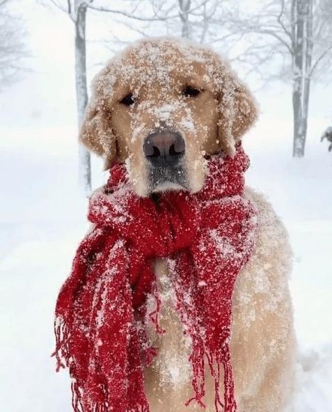 Los mejores consejos para proteger a nuestros perros del frío y la nieve bufanda