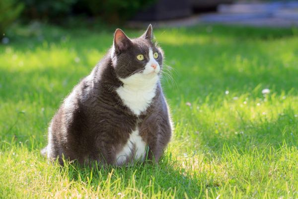 Gatos con obesidad como frenarla consecuencias