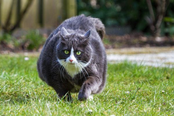 Gatos con obesidad frenar consecuencias tratamientos