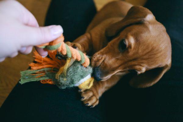 Cachorro teckel juguetes