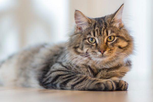 Alimentos que no puede comer tu gato posibles enfermedades gato