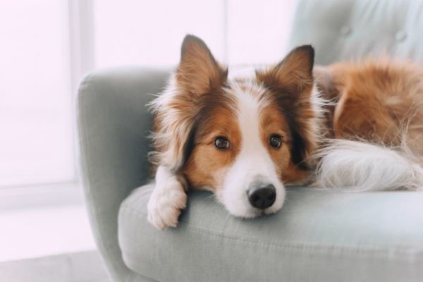 Collie en el sofá