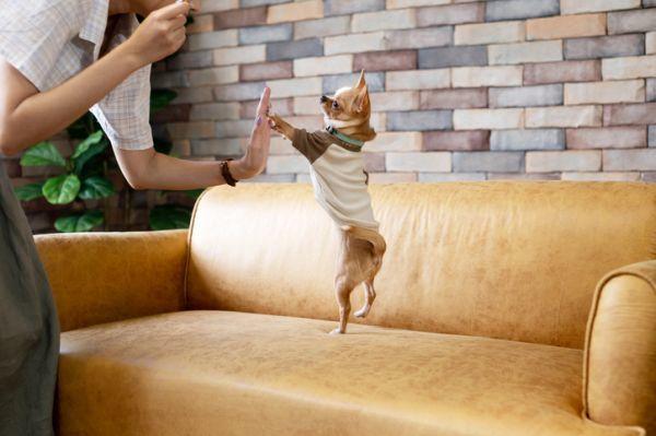 Chihuahua sofá