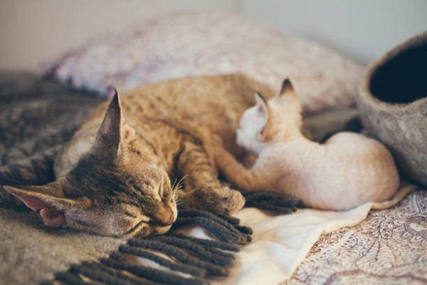 Etapas desarrollo en los gatos cuales son caracteristicas