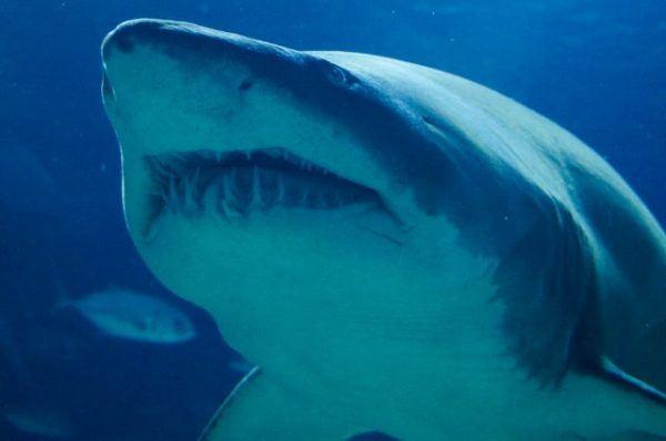 Características del Tiburón Blanco: fotos, hábitat, alimentación y carácter