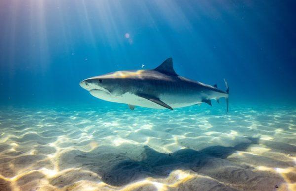 Características del Tiburón Blanco: fotos, hábitat, alimentación y carácter ataques