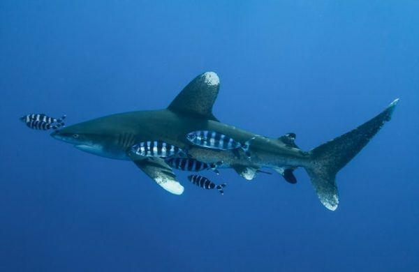 Características del Tiburón Blanco: fotos, hábitat, alimentación y carácter comida